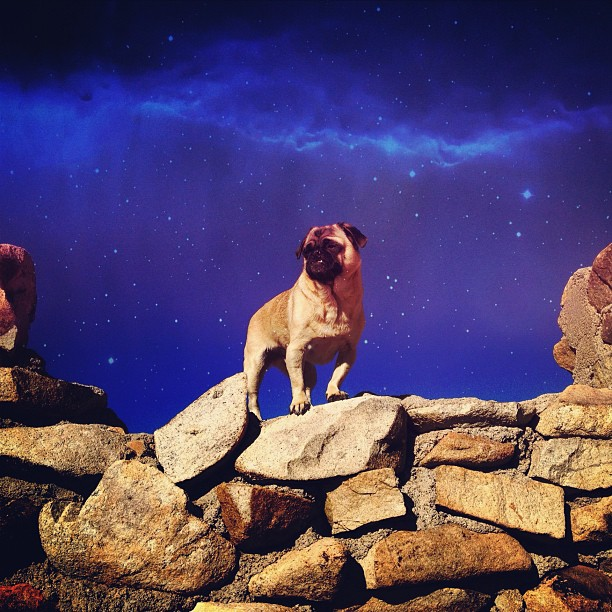 ondeathbeds: Far fucking out. #pug #pugsofinstagram #space #picfx #joshuatree